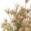 Nigelle orientale séchée sable (env 100gr.)