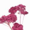 Achillée séchée fuchsia (env 70gr.)