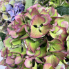 Hortensia automnal (5 tiges)