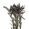 Leucadendron séché (5 tiges)