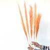 Herbe de pampa saumon (5 tiges)