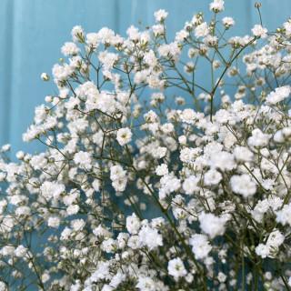 Gypsophile Perfecta (5 tiges) - France Fleurs
