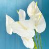 Anthurium blanc (6 tiges)