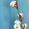 Branche de coton (7-8 boules)