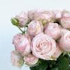 Rose branchue bombastic (10 tiges)