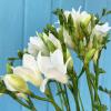 Freesia blanc (10 tiges)