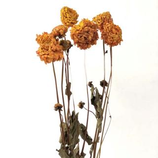 Dahlia séché orange (5 tiges)