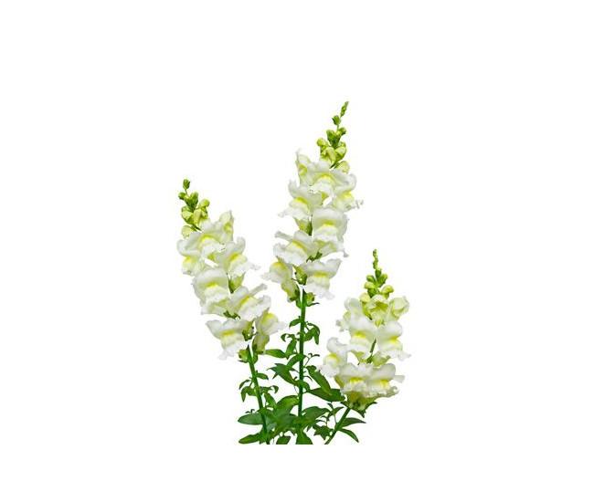 Fleur de muflier livraison fleurs coup es france fleurs for France fleurs