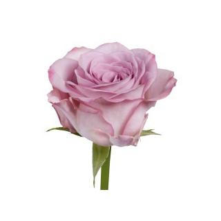 Rose Memory Lane - France Fleurs