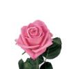 Rose Aqua (20 tiges)
