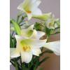 Lys longiflorum - fleurs lys mariage - France Fleurs