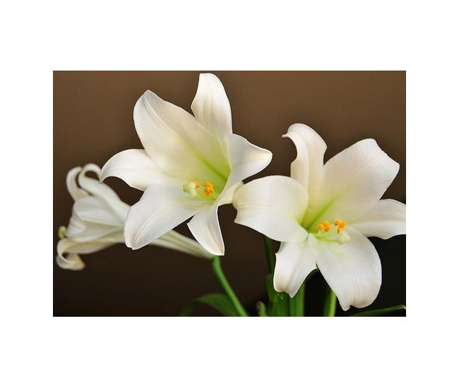 Lys longiflorum pas cher livraison fleur mariage for Fleurs pas cher livraison