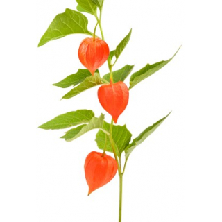 Physalis (amour en cage)