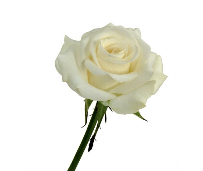 Rose akito blanche livraison roses blanches france fleurs for France fleurs