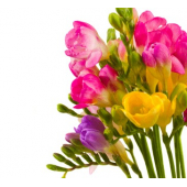 Freesia varié (10 tiges)
