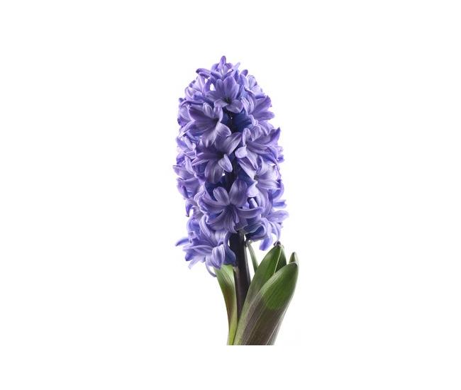 jacinthes livraison express france fleurs. Black Bedroom Furniture Sets. Home Design Ideas