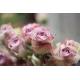Roses Memory Lane -  France Fleurs