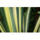 Feuille de pandanus ou phormium - France Fleurs