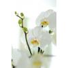 Orchidée en pot (1 tige)