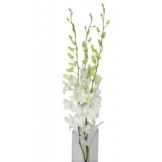 Dendrobium blanc