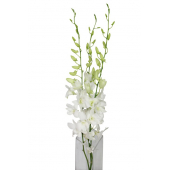 Dendrobium blanc (10 tiges)