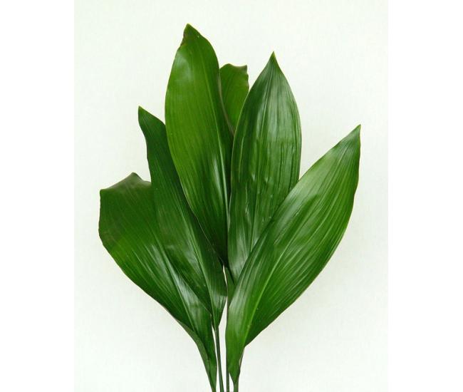 Aspidistra pas ch re livraison feuillages et fleurs for Fleur pas chere a planter