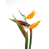 Strelitzia orange (6 tiges)