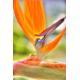 Strelitzia - Oiseau de Paradis