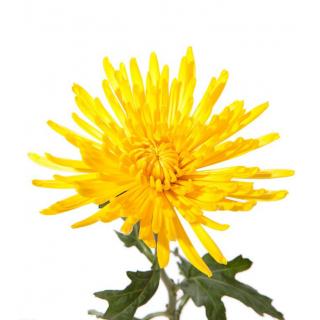 Délistar Anastasia jaune