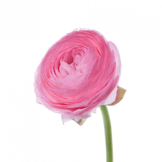 Renoncule rose - France Fleurs