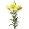 Lys asiatique jaune - France Fleurs
