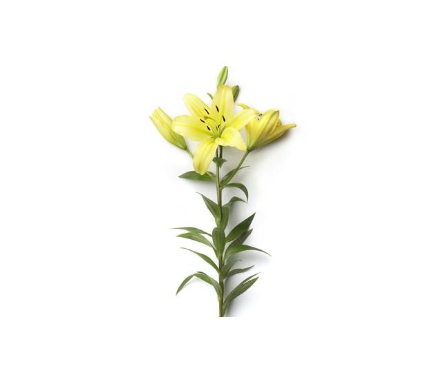 lys asiatique pas cher livraison fleur coup e france fleurs. Black Bedroom Furniture Sets. Home Design Ideas
