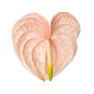 Fleur d'anthurium rose pâle - France Fleurs