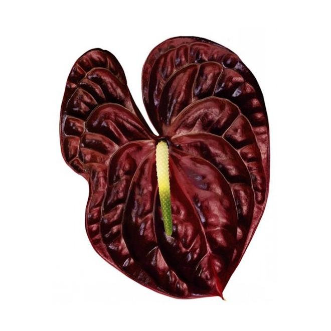 Anthurium chocolat - France Fleurs