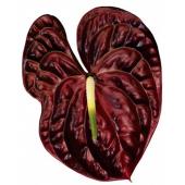 Anthurium chocolat (6 tiges)