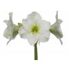 Amaryllis blanc - France Fleurs