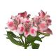 Alstroemeria rose - Fleurs coupées
