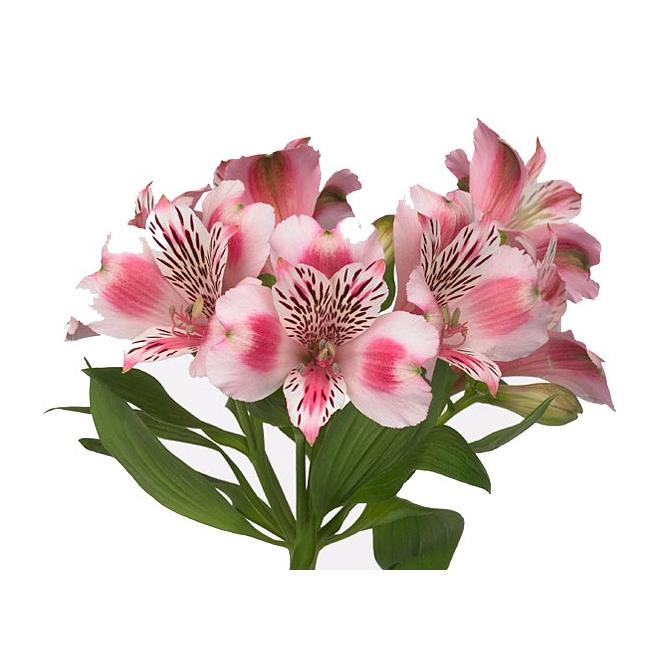 Alstroemeria rose livraison lys des incas france fleurs - Calendrier des fleurs coupees ...