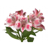 Alstroemeria rose (10 tiges)