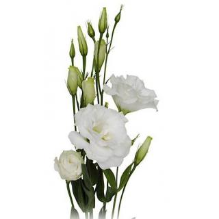 Lisianthus blanc (10 tiges) - France Fleurs