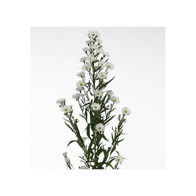 Aster blanc - France Fleurs
