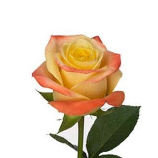 Rose Florida (20 tiges) - France Fleurs