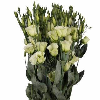 Lisianthus vert (10 tiges) - France Fleurs