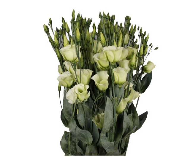 Lisianthus vert livraison lysianthus france fleurs for Livraison fleurs france