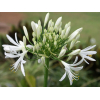 Agapanthe blanche (10 tiges)