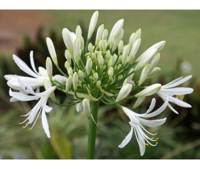 Agapanthe blanche livraison fleurs france fleurs for Livraison fleurs france