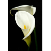 Arum - France Fleurs