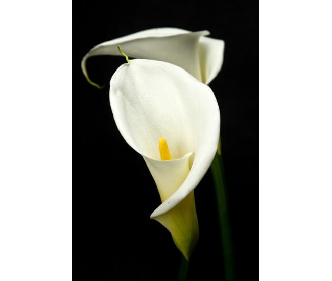 arum colombe de la paix livraison fleurs mariage france fleurs. Black Bedroom Furniture Sets. Home Design Ideas