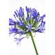 Agapanthe bleue - France Fleurs