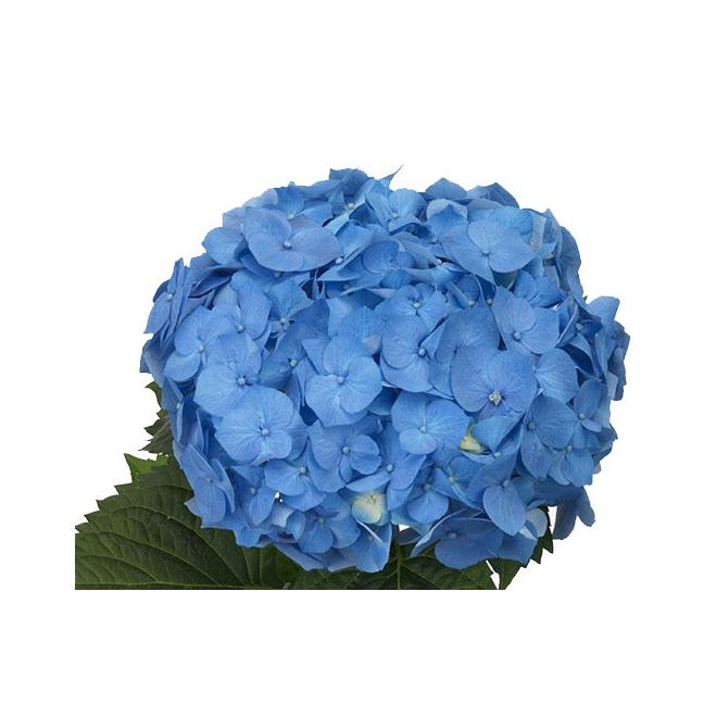 Hortensia bleu livraison fleurs mariage france fleurs for Livraison fleurs france